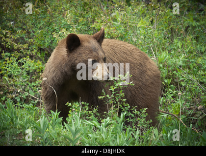 A black bear in a Canadian forest - Stock Photo