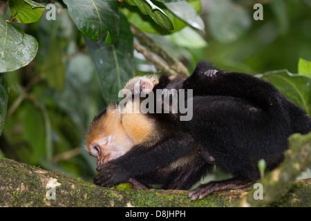 White-faced Capuchin Monkey, Cebus capucinus, Corcovado National Park, Costa Rica - Stock Photo