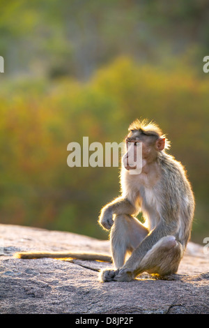 The rhesus macaque monkey (Macaca mulatta) - Stock Photo