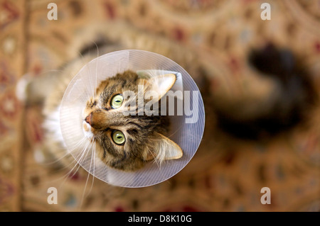 Domestic medium hair cat wearing a plastic protective collar on the neck after the surgery. - Stock Photo
