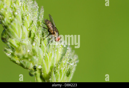 Tachinid fly perched on a leaf with dew. - Stock Photo