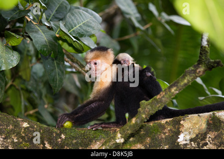 White-faced Capuchin Monkey, Cebus capucinus, Corcovado National Park, Costa Rica - Stock Photo