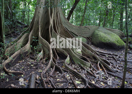 Buttress Roots, Fig Tree, Rincon de la Vieja National Park, Costa Rica - Stock Photo