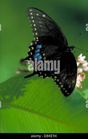 Black swallowtail on wild bergamot. - Stock Photo
