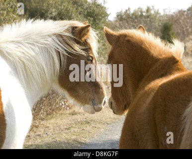 Two wild horses stand closely together equus ferus. - Stock Photo