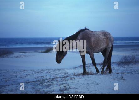 Wild horse walking on the beach equus ferus. - Stock Photo