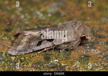 Hebrew Character (Orthosia gothica) - Stock Photo