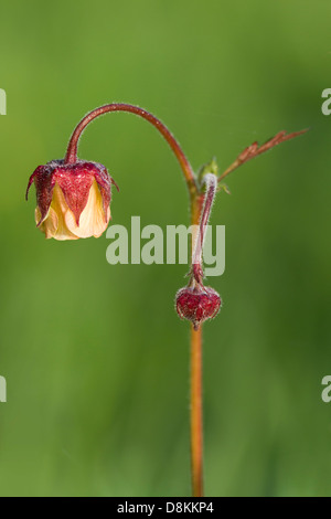 Water Avens (Geum rivale) flower - Stock Photo