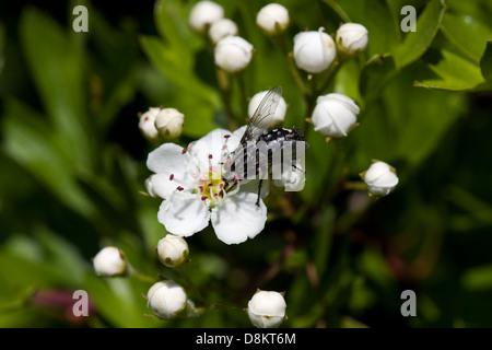 Common flesh fly feeding on flowers of Hawthorn - Stock Photo