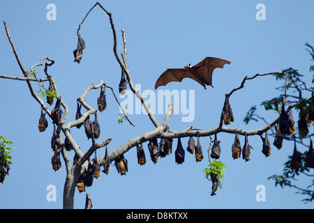 Indian flying fox Pteropus giganteus at colonial roost - Stock Photo