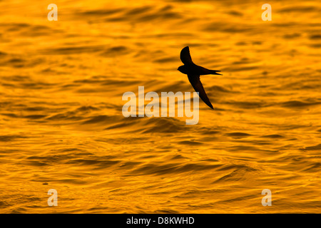 Swift Apus apus flying over water Titchwell Norfolk - Stock Photo