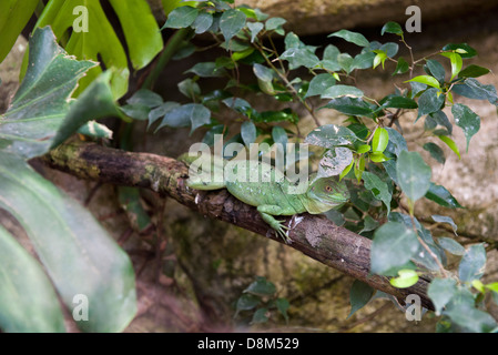 Green basilisk (Basiliscus plumifrons) - Stock Photo