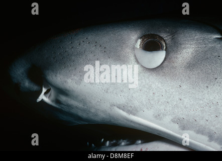 Tiger Shark (Geleocerdo cuvier) with nictitating eyelid half-closed. Great Barrier Reef, Australia - Stock Photo