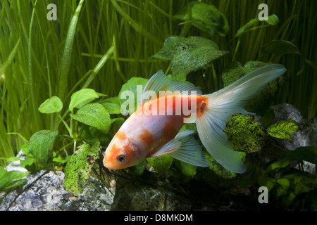 Gold fish in aquarium - Stock Photo