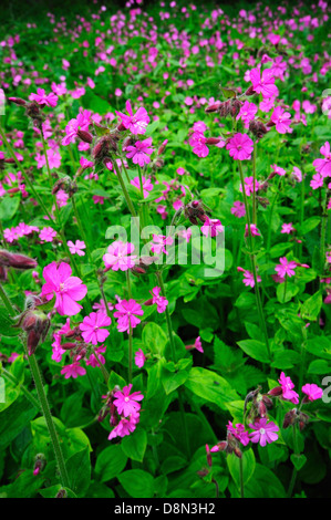 A large patch of red campion, a spring wild flower - Stock Photo