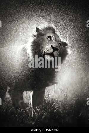 Male lion shaking off water in rainstorm - Kruger National Park - South Africa - Stock Photo