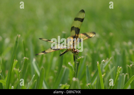 Halloween pennant dragonfly lands on blade of grass. - Stock Photo