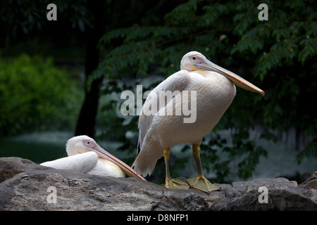 Great White Pelicans standing on rocks, Singapore. - Stock Photo