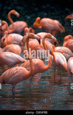 Group of American (or Rosy) Flamingos at Jurong Bird Park, Singapore. - Stock Photo