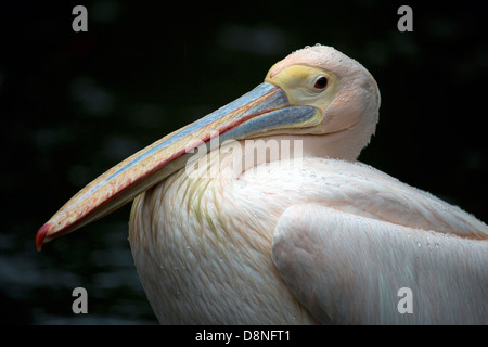 Close up of a Great White Pelican, Singapore. - Stock Photo