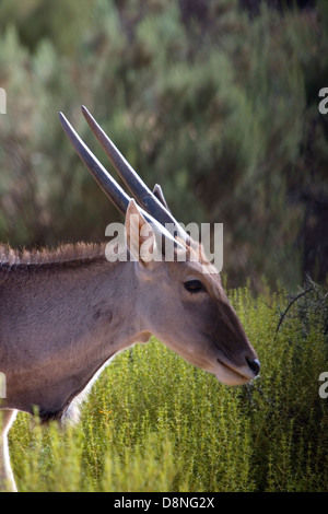 Head shot of Oryx, Aquila Game reserve, South Africa. - Stock Photo