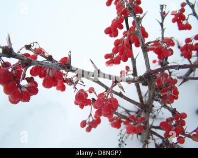 Winter berries - Stock Photo