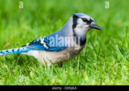 Blue Jay foraging in green grass - Stock Photo