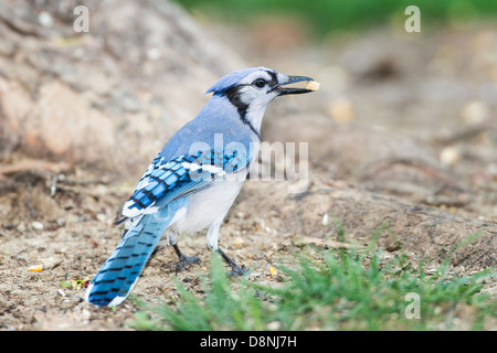 Blue Jay foraging for seeds on ground - Stock Photo