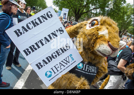 London, UK. 1st June, 2013. Animal rights protestors against the badger cull, that is due to start tomorrow, are - Stock Photo