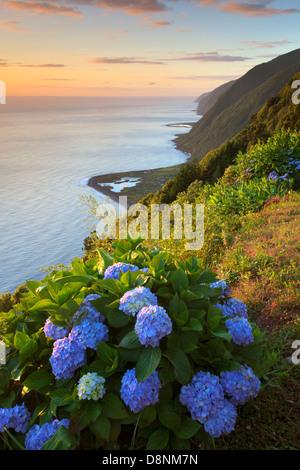 Hydrangeas at sunrise in north coast of São Jorge island with Fajã dos Cubres and Santo Cristo on the coastline - Stock Photo