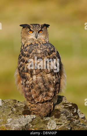 Eagle Owl,, Bubo bubo on a rock and in between vegetation in its natural habitat looking straight in to the camera. - Stock Photo