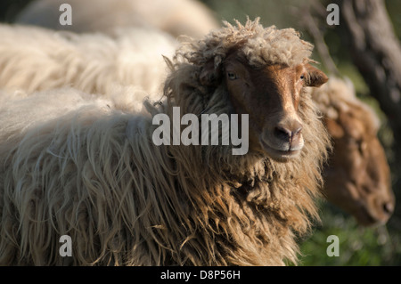 Sheep in field looking at camera (Greece) - Stock Photo