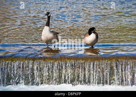 Canada Geese on river weir - Stock Photo