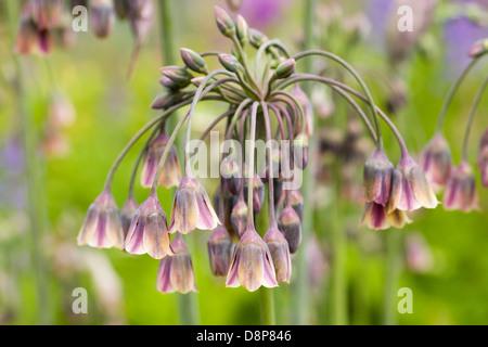 Nectaroscordum siculum growing in an English garden. Sicilian honey garlic. - Stock Photo