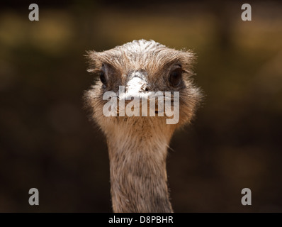 Close up shot of ostrich head looking forward for visitor centres or the concept of denial or burying your head - Stock Photo