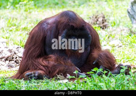 The adult male of the Orangutan in Chiangmai Zoo, Thailand - Stock Photo