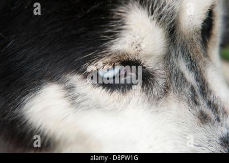 Siberian husky, extreme close-up - Stock Photo
