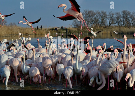 Greater Flamingo Phoenicopterus roseus feeding on algae Camargue France - Stock Photo