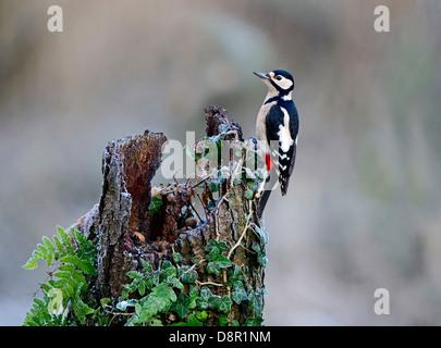 Great spotted Woodpecker Dendrocopos major Norfolk November - Stock Photo