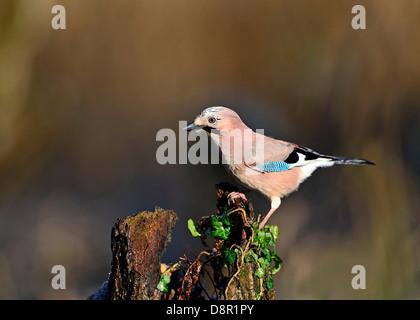 Jay, Garrulus glandarius searching for acorns in woodland Norfolk November - Stock Photo