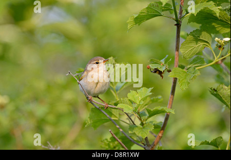 Willow Warbler Phylloscopus trochilus male Norfolk June - Stock Photo
