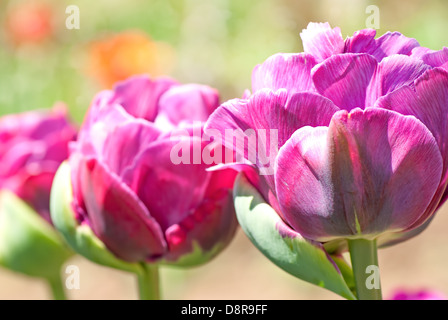 Rose colored Peonies close up - Stock Photo