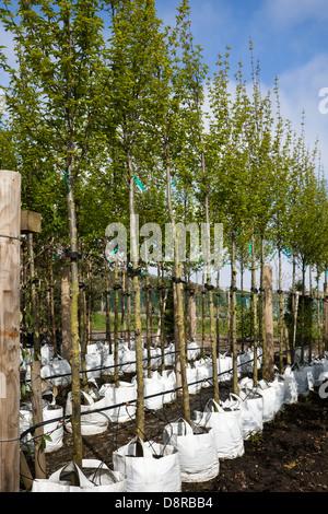 Carpinus betulus (European or common hornbeam) for sale at Nursery in Southport, Merseyside, UK - Stock Photo