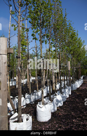 Container grown Trees for sale at J.A. Jones Nursery in Southport, Merseyside, UK - Stock Photo