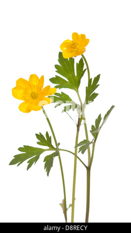 yellow buttercup (Ranunculus repens) on white background - Stock Photo