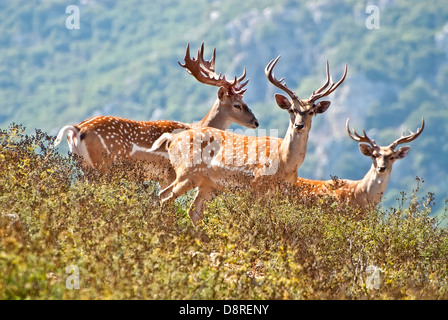 Persian Fallow Deer, Dama dama mesopotamica - Stock Photo