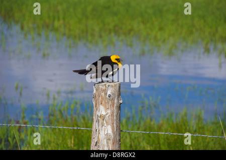 Yellow Headed Blackbird (Xanthoocephalus xanthocephalus) sitting on fence Malheur National Wildlife Refuge, Oregon - Stock Photo