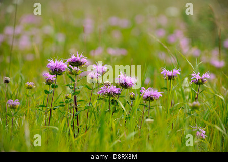 Wild bergamot (Monarda fistulosa) blooming in a foothills meadow Waterton Lakes National Park Alberta Canada - Stock Photo
