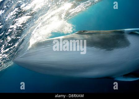 Dwarf Minke Whale Balaenoptera acutorostrata Great Barrier Reef, Coral Sea, Pacific Ocean, Queensland, Australia - Stock Photo