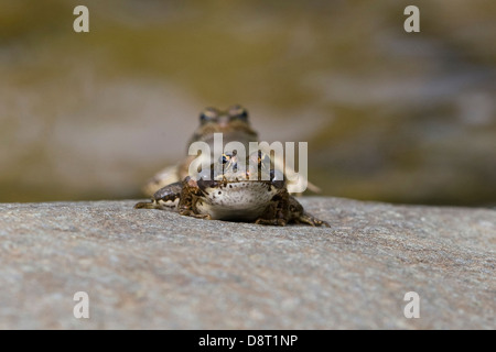 Two frogs are mating on rock beside a stream - Stock Photo